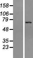 NBL1-18056 - ZNF133 Lysate
