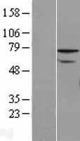 NBL1-18062 - ZNF143 Lysate