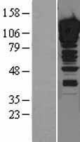 NBL1-18063 - ZNF148 Lysate