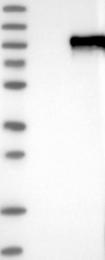 NBP1-81343 - ZNF16