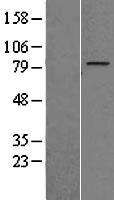 NBL1-18065 - ZNF16 Lysate