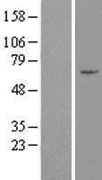 NBL1-18067 - ZNF165 Lysate