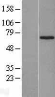 NBL1-18068 - ZNF169 Lysate