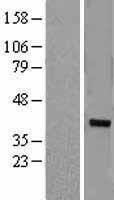 NBL1-18071 - ZNF177 Lysate