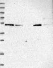 NBP1-92618 - ZNF181