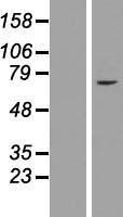 NBL1-18074 - ZNF182 Lysate