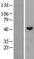 NBL1-18078 - ZNF193 Lysate