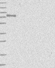 NBP1-84685 - ZMYM2