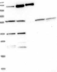 NBP1-89340 - ZNF2