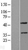 NBL1-18079 - ZNF2 Lysate