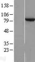 NBL1-18083 - ZNF202 Lysate