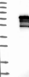 NBP1-80604 - ZNF205