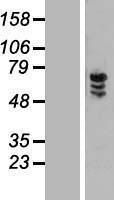 NBL1-18084 - ZNF205 Lysate
