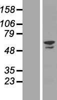 NBL1-18086 - ZNF212 Lysate