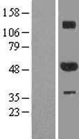 NBL1-18087 - ZNF213 Lysate