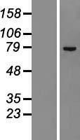 NBL1-18092 - ZNF23 Lysate