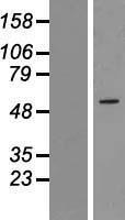 NBL1-18093 - ZNF230 Lysate