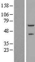 NBL1-18094 - ZNF232 Lysate