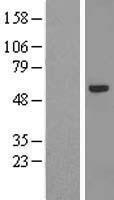 NBL1-18097 - ZNF239 Lysate