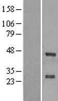 NBL1-18098 - ZNF24 Lysate
