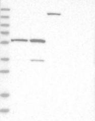 NBP1-81052 - ZNF250