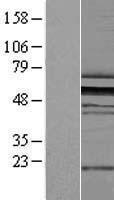 NBL1-18102 - ZNF259 Lysate