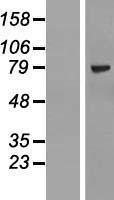 NBL1-18107 - ZNF274 Lysate