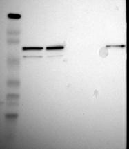 NBP1-89329 - ZNF3