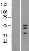 NBL1-18112 - ZNF3 Lysate