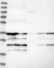 NBP1-87204 - RNF114