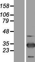 NBL1-15413 - ZNF313 Lysate