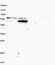 NBP1-86836 - ZNF324
