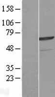 NBL1-18118 - ZNF329 Lysate