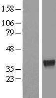 NBL1-18119 - ZNF330 Lysate