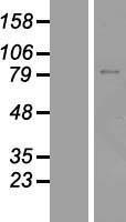 NBL1-18122 - ZNF334 Lysate