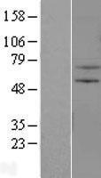 NBL1-18124 - ZNF34 Lysate