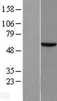NBL1-18128 - ZNF35 Lysate