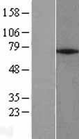 NBL1-18130 - ZNF354A Lysate