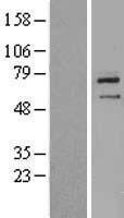 NBL1-18131 - ZNF354B Lysate