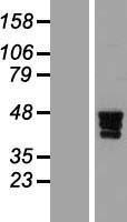 NBL1-18133 - ZNF362 Lysate