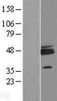 NBL1-15414 - ZNF364 Lysate