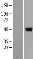 NBL1-18135 - ZNF385 Lysate