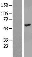 NBL1-18136 - ZNF385B Lysate
