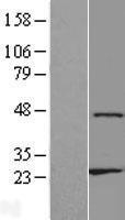 NBL1-18138 - ZNF385D Lysate