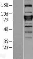 NBL1-18143 - ZNF408 Lysate