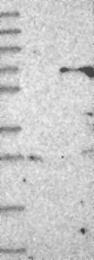 NBP1-81149 - ZNF426