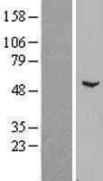 NBL1-18154 - ZNF436 Lysate