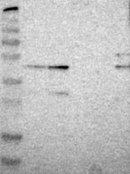 NBP1-80593 - ZNF446