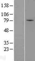 NBL1-18159 - ZNF45 Lysate