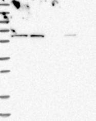 NBP1-84088 - ZNF48